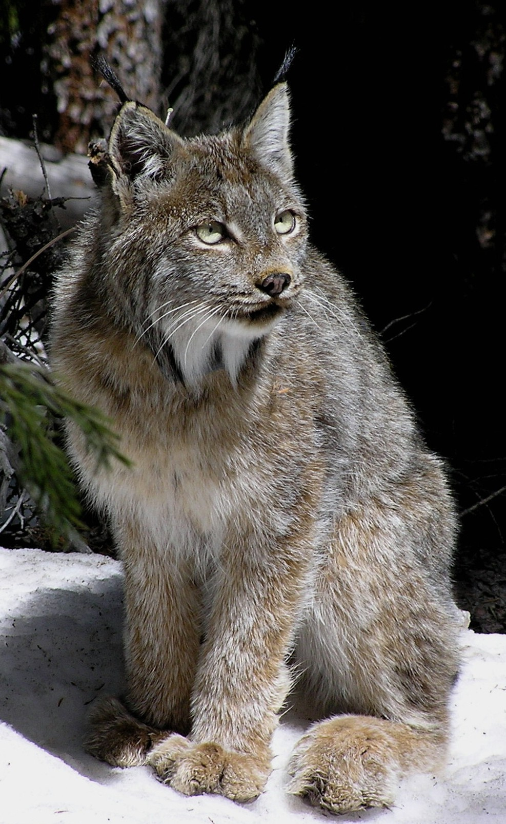 An adult lynx in Colorado warily surveys its surroundings.