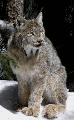 An adult lynx in Colorado warily surveys its surroundings. The wild cats were recently named to a top-10 list of species most at risk from climate change impacts to habitat. PHOTO BY TANYA SHENK, Colorado Division of Wildlife.