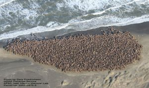 PHOTO U.S. GEOLOGICAL SURVEY: Melting Arctic sea ice is forcing walrus colonies into a shore-bound existence to which they aren't adapted. Scientists say they've documented several cases of young calves being trampled in stampedes.