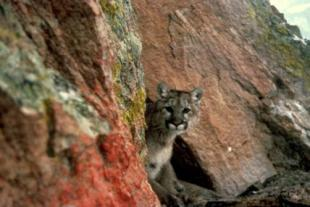 A mountain lion in Colorado