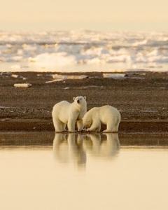 Do polar bears hibernate? Read the latest edition of our bear blog to find out.