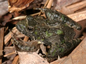 A northern cricket frog