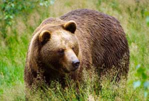 Brown Bear in the European Alps