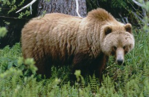 Grizzlies are roaming farther north and encroaching on Polar bear habitat, PHOTO COURTESY U.S. GEOLOGICAL SURVEY.