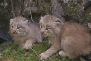 Canada lynx kittens in Maine