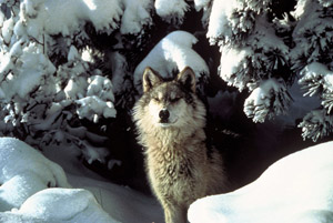 There will no wolf hunting in Idaho and Montana this year. Photo by Tracy Brooks/Mission Wolf / USFWS