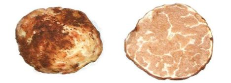An Oregon white truffle, courtesy Oregon State University