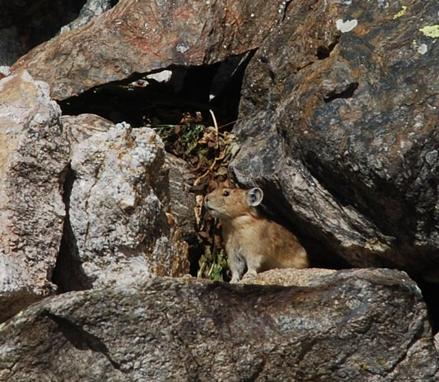 Colorado pika