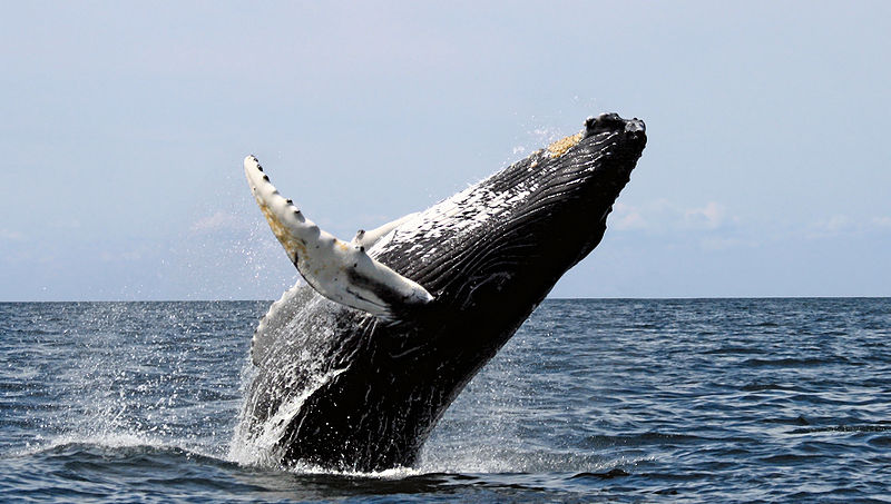 A breaching humpback whale. PHOTO COURTESY OF WHIT WELLES.
