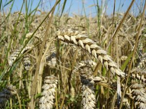 The recent wheat crisis in Russia is a warning sign for potential large-scale global warming impacts. PHOTO COURTESY THE WIKIMEIDA COMMONS.