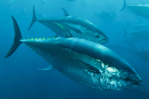 A rampant black market and lax regulations are quickly leading to the demise of the eastern Atlantic bluefin tuna.