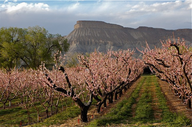 A peach orchard in Palisade, Colorado in full bloom.