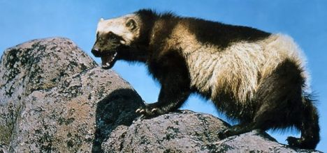 A new climate change study casts doubt on the ability of wolverines to survive in the face of climate change. PHOTO COURTESY NATIONAL PARK SERVICE.