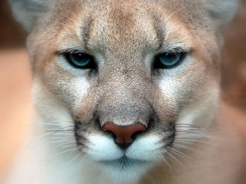 800px cougar closeup