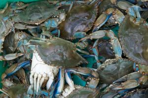 A nice haul of blue crabs.
