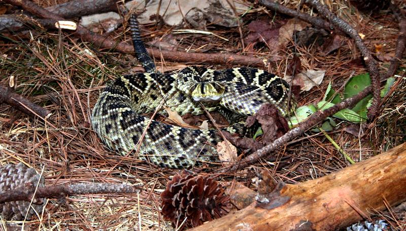Rattlesnake Roundup Georgia Georgia Rattlesnake Roundup