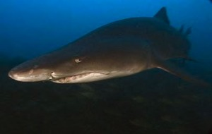 A sand tiger shark. PHOTO COURTESY PAULA WHITFIELD, NOAA.