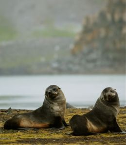 Fur seals on Half Moon Island, in the South Shetland chain, off the Antarctic Peninsula. PHOTO BY BOB BERWYN.