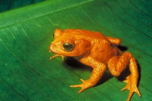 Golden toads were discovered in Coata Rica in 1966. None have been seen since 1989, despite intensive surveys. They are presumed extinct. PHOTO COURTESY U.S. FISH AND WILDLIFE SERVICE.
