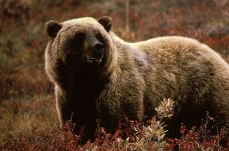 An adult grizzly bear in the brush. PHOTO COURTESY THE U.S. FISH AND WILDLIFE SERVICE.