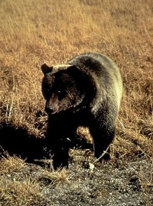 Grizzly bear attacks are rare, and hikers are encouraged to carry pepper spray to deter attacks. PHOTO COURTESY U.S. FISH AND WILDLIFE SERVICE.