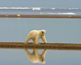 A polar bear roams a coastal strand. PHOTO BY SUSANNE MILLER, USFWS.