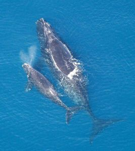 A North Atlantic right whale and calf. PHOTO COURTESY NOAA.