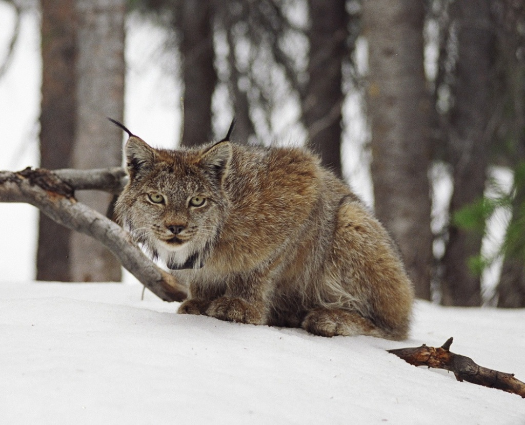 A lynx in the wild counry of Colorado. PHOTO COURTESY COLORADO DIVISION OF PARKS AND WILDLIFE.TANYA SHENK.