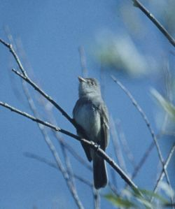 willow flycatcher