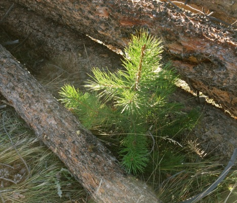 One of the few lodgepole seedlings to survive the industrial clearcutting on the north shore of the Frisco Peninsula.
