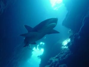 A whitetip reef shark. Photo courtesy NOAA.