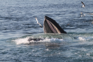 A humpback whale in the Stellwagen National Marine Sanctuary. PHOTO COURTESY NOAA.