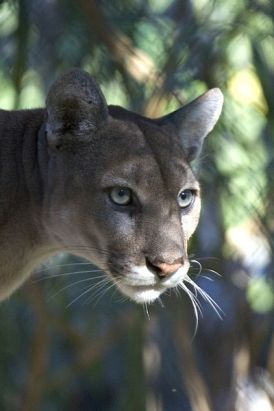 An endangered Florida panther. PHOTO BY RODNEY CAMMAUF, COURTESY THE NATIONAL PARK SERVICE.