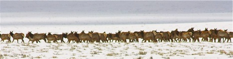 A herd of elk near Buena Vista, Colorado. PHOTO COURTESY DAVE HANNIGAN/COLORADO PARKS AND WILDLIFE.