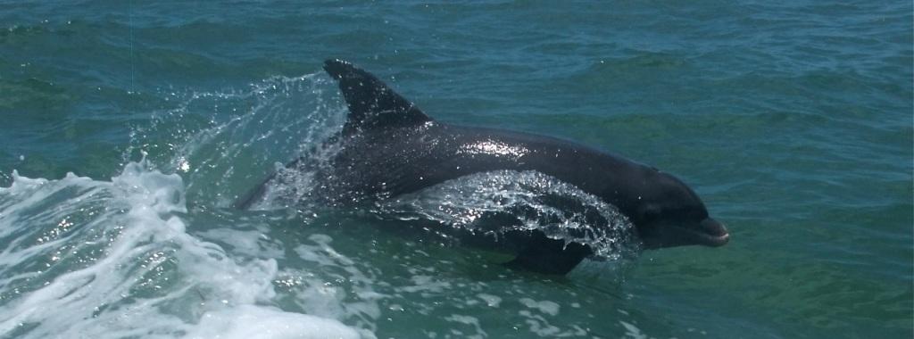 dolphins Deepwater Horizon spill
