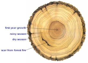 New tree ring studies in Alaska help shed light on climate-change impacts to forests.