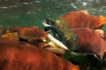 Kokanee Salmon. PHOTO COURTESY COLORADO PARKS AND WILDLIFE.