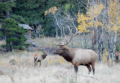 Elk near Bailey, Colorado. PHOTO COURTESY COLORADO DIVISION OF WILDLIFE/JCHURCHILL.