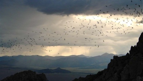 Thousand of bats fly out of a roost near Saguache, Colorado. PHOTO BY COLORADO PARKS AND WILDLIFE.