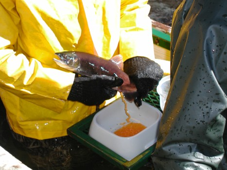 Taking eggs from a kokanee salmon at the Roaring Judy fish hatchery. PHOTO COURTESY GUNNISON COUNTY TIMES.