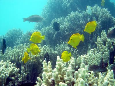 Yellow tangs swim in a coral reef ecoystems.