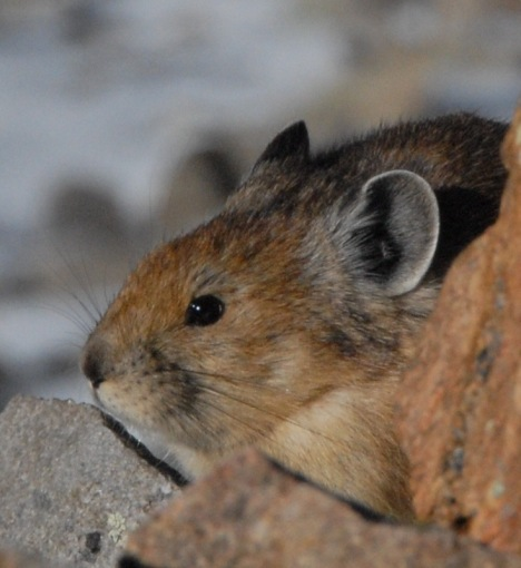 Pikas are among the species considered vulnerable to climate change.
