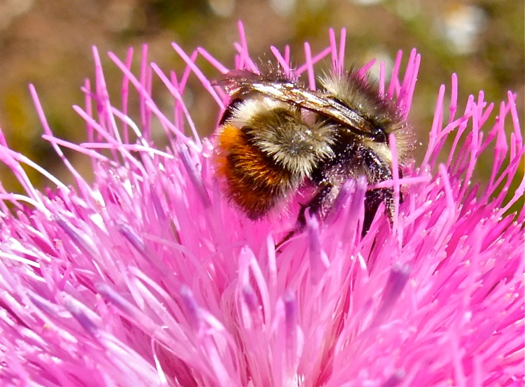 Bumblebee butt and thistle.