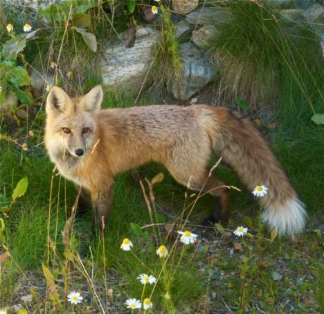 A fox in Breckenridge, Colorado. PHOTO BY DYLAN BERWYN.