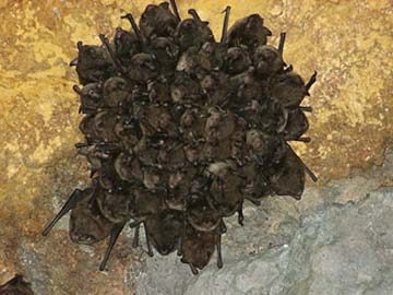 Indiana bats hibernating in a cave. PHOTO COURTESY USGS/ANDREW KING.