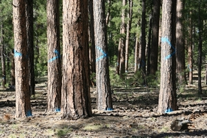 Ancient ponderosa pines marked for logging in the Kaibab National Forest. PHOTO COURTESY CENTER FOR BIOLOGICAL DIVERSITY.