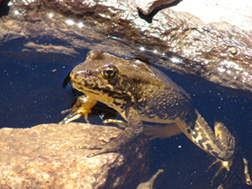 Sierra Yellow-legged frog. PHOTO COURTESY USFWS.