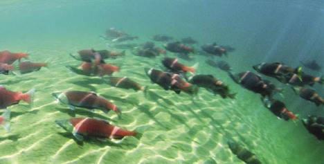 Spawning salmon. PHOTO COURTESY NOAA.