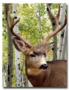 A mule deer in Colorado. PHOTO COLORADO PARKS AND WILDLIFE.