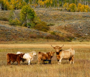 Most modern cattle, including these longhorns near Silverthorne, Colorado, are descended from a